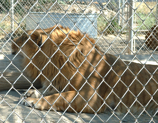 A liger in a zoo