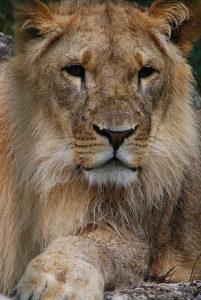 A tigon