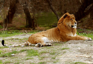 Interesting Liger Facts – The Liger