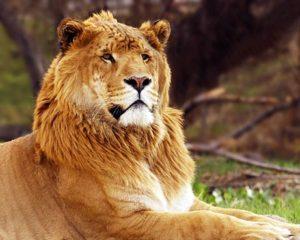 A liger