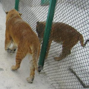 Liger and tiger