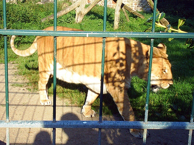 Liger in a small zoo in Gromitz Germany