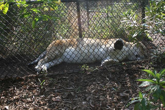 Sleeping liger